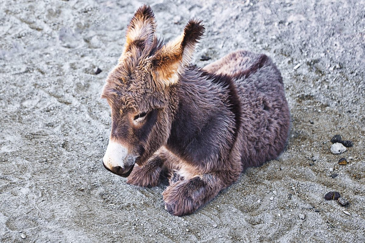 Baby burro Arizona