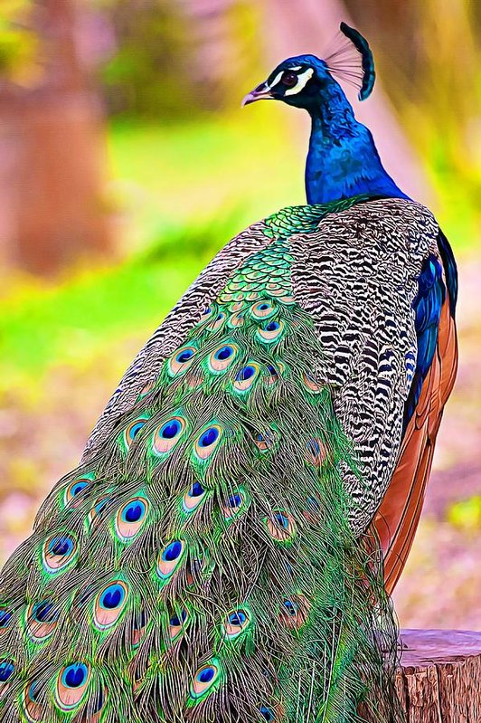 Proudly spotted - Peacock